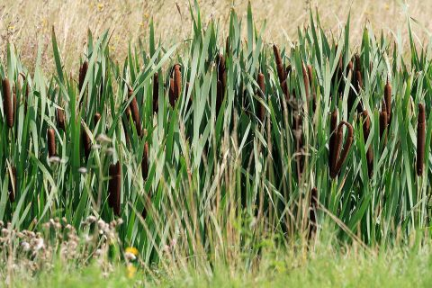Rohrkolben wächst vor dem Zellstoffwerk Mercer Stendal in Arneburg