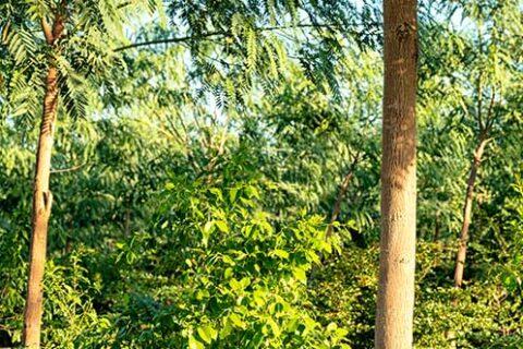 Santanol Sandelholz-Plantage in Kununurra, Westaustralien