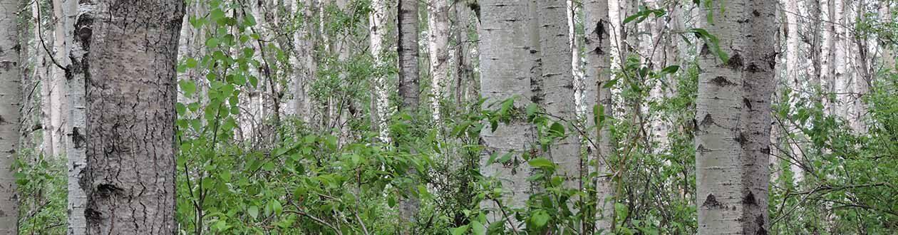 Aspen-Wachstum im Forstwirtschaftsgebiet von Mercer Peace River