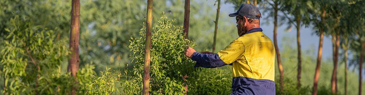 Santanol Teammitglied bei der Inspektion der Sandelholzbäume in den Plantagen von Kununurra, Westaustralien